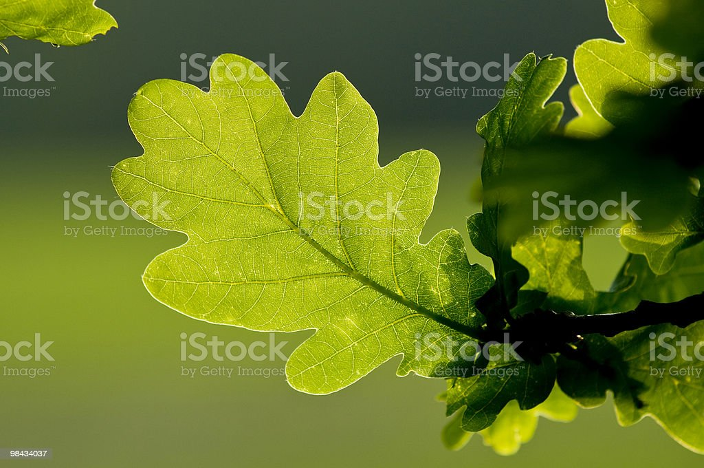Oak Leaf` stock photo