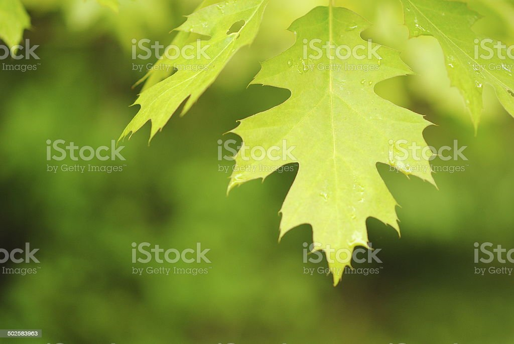 Oak Leaf, raindrops stock photo