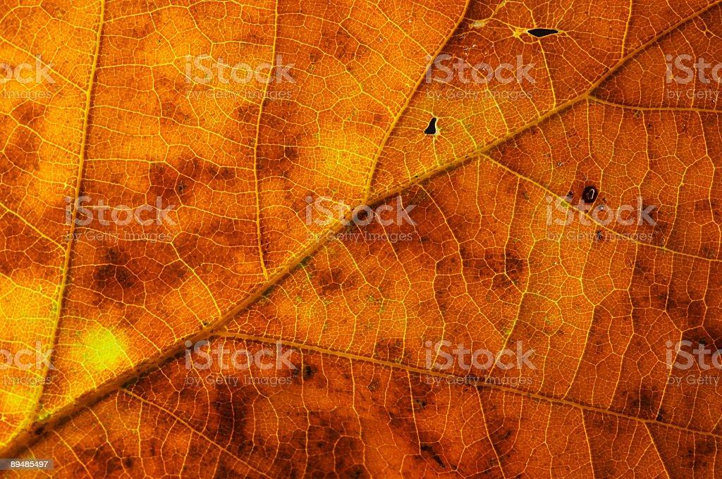 oak leaf texture #1 royalty-free stock photo
