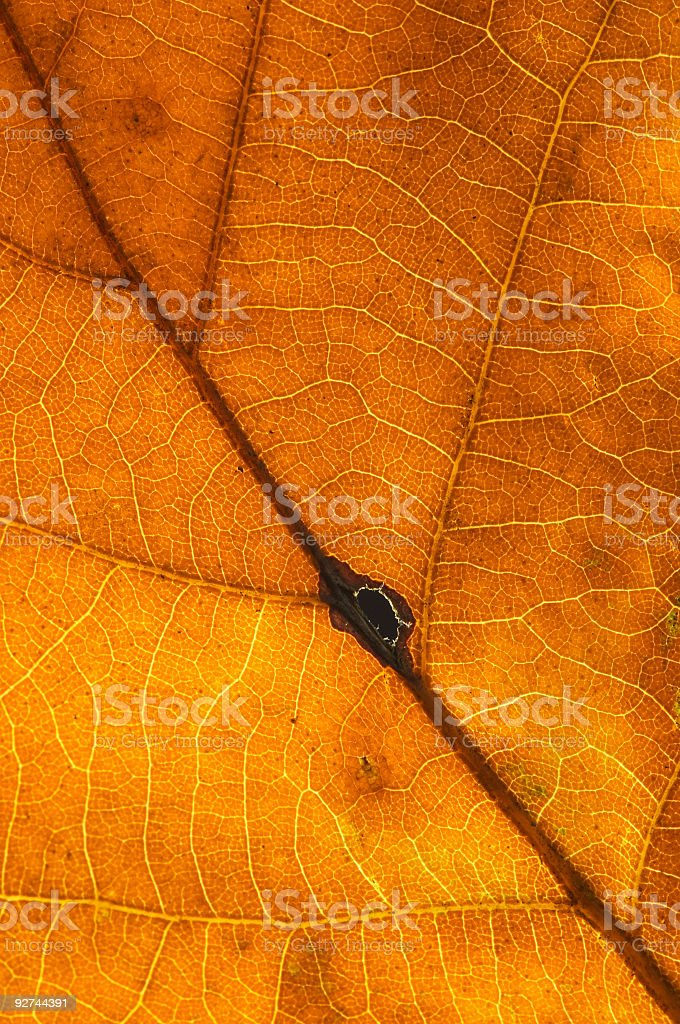 oak leaf texture #3 royalty-free stock photo