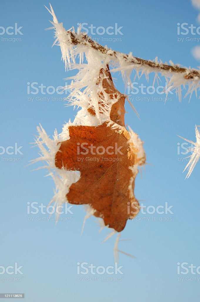 oak leaf with ice crystals stock photo