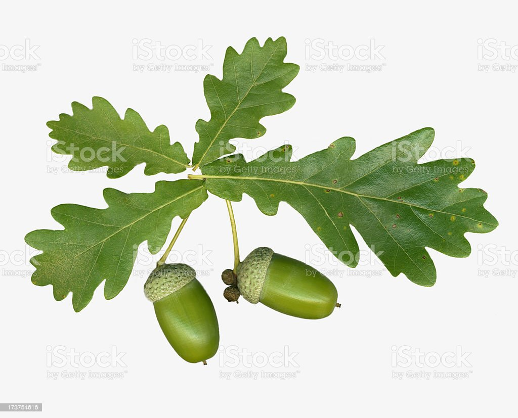 Oak leaves & acorns Isolated on white background royalty-free stock photo