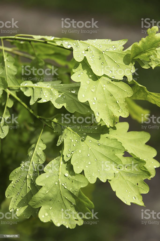 Oak leaves after the rain stock photo