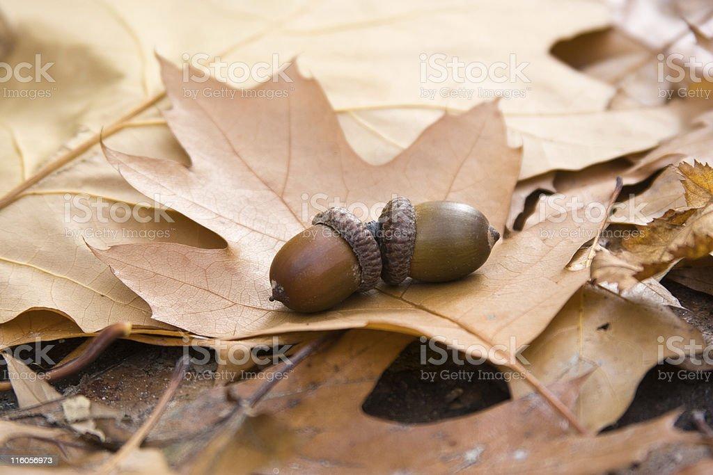 oak leaves and acorns stock photo