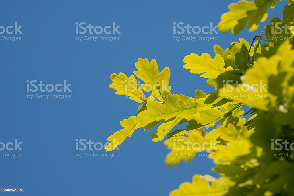 oak leaves and blue sky stock photo