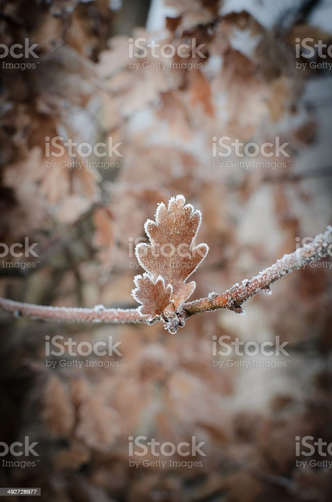 oak leaves covered with hoarfrost stock photo