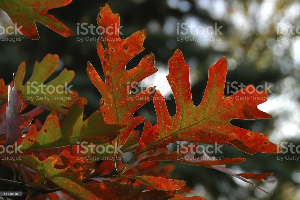 Oak Leaves Displaying Full Fall Colors royalty-free stock photo