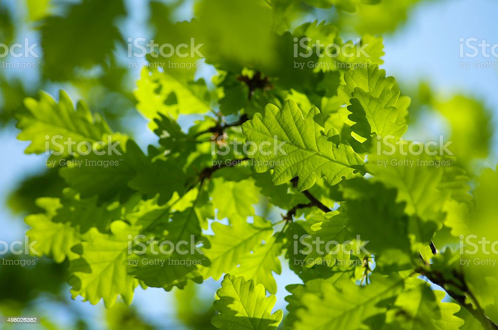 Oak leaves in a sunny day stock photo