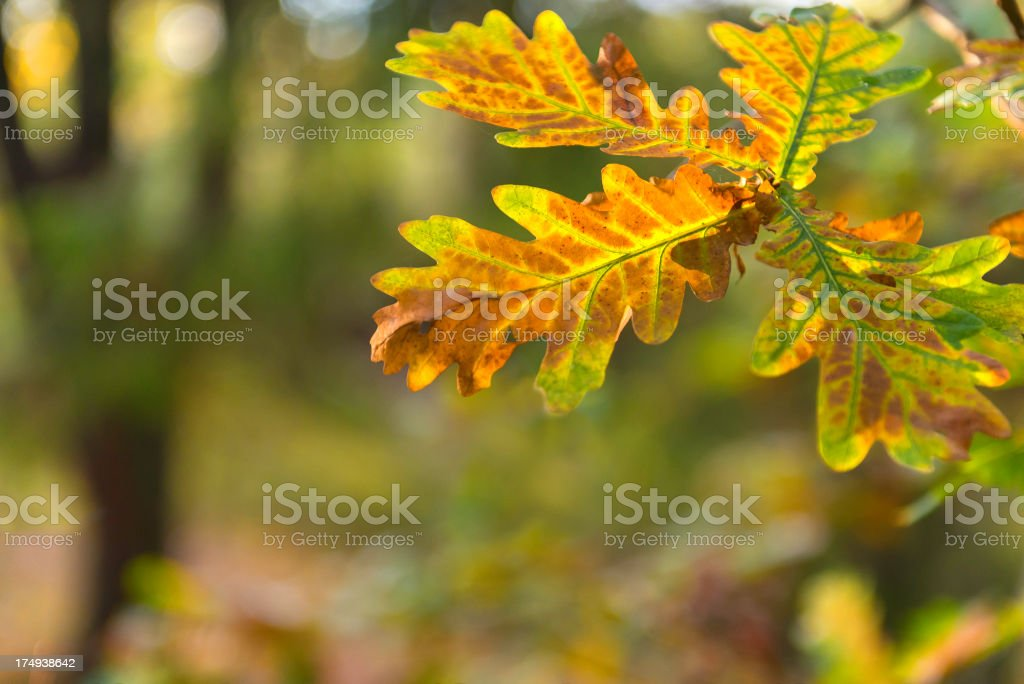 Oak leaves in autumn forest royalty-free stock photo