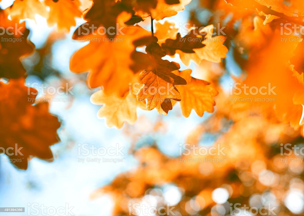 oak leaves in autumn stock photo