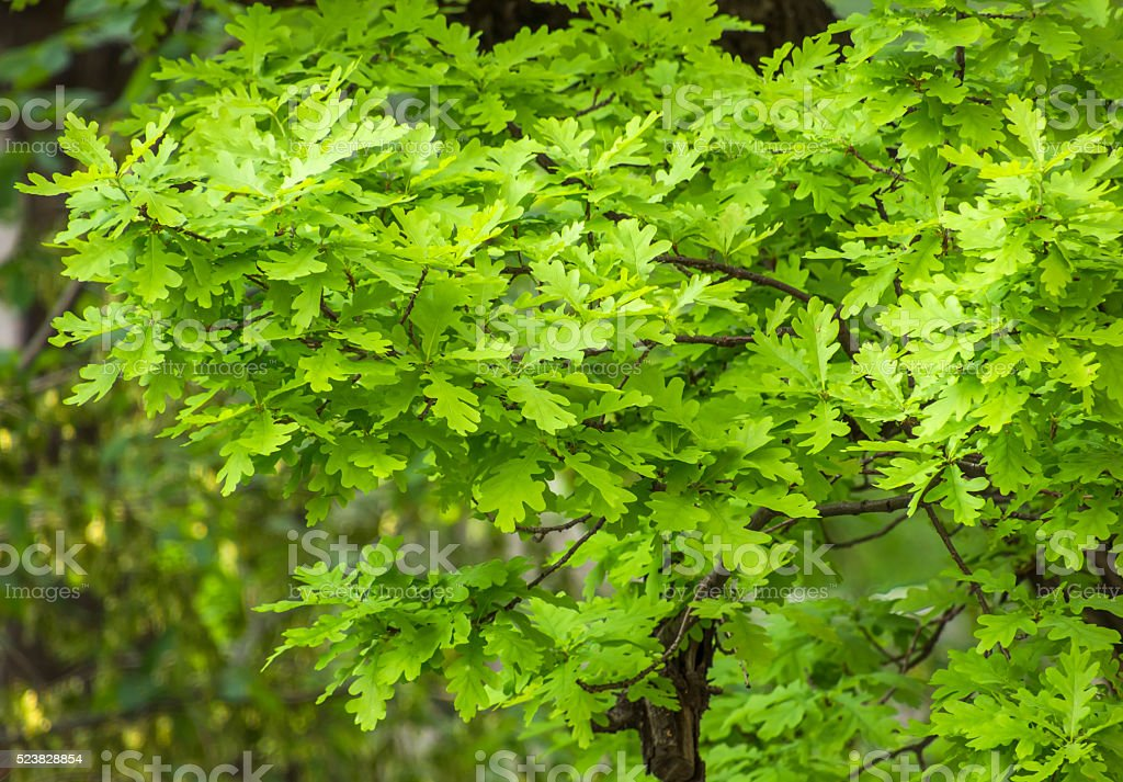 Oak Leaves In Spring stock photo