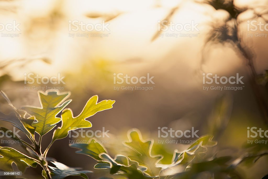 Oak Leaves in Sunlight stock photo