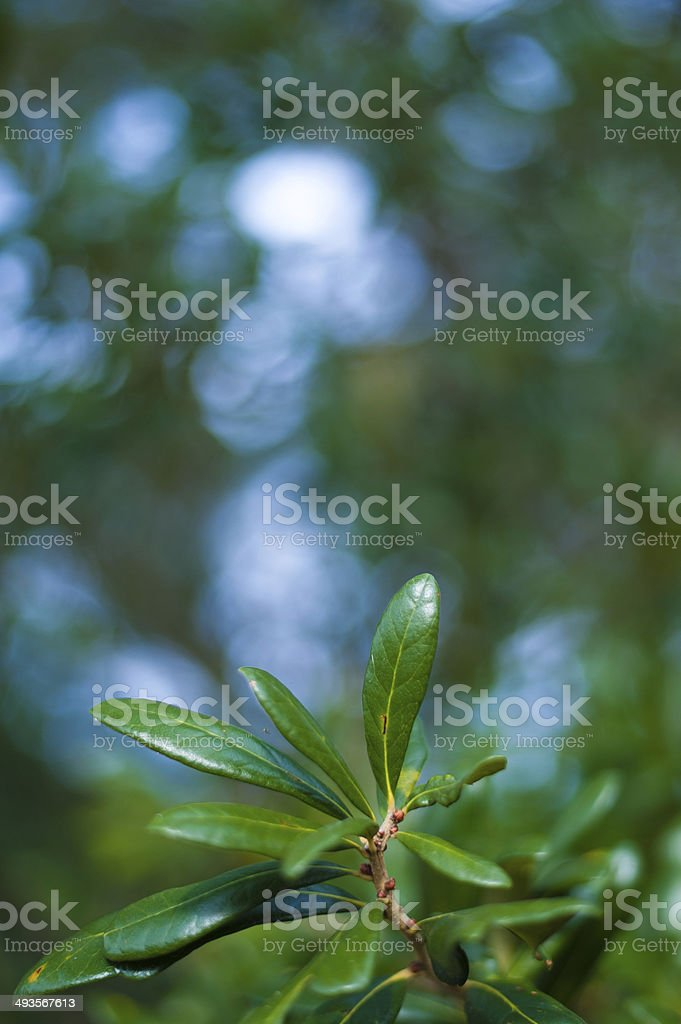 Oak Leaves in the Foreground stock photo