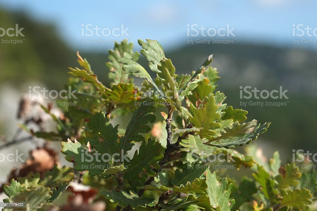 Oak leaves in the Luberon stock photo