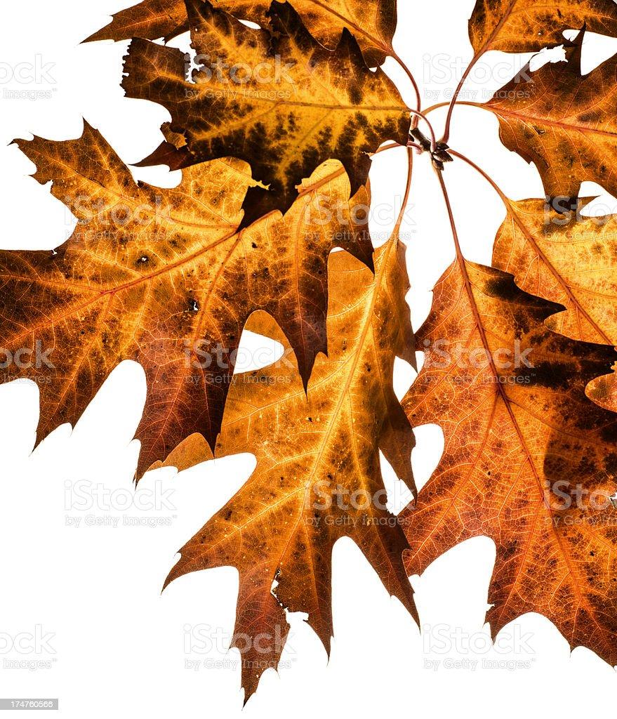 Oak leaves isolated on white background. royalty-free stock photo