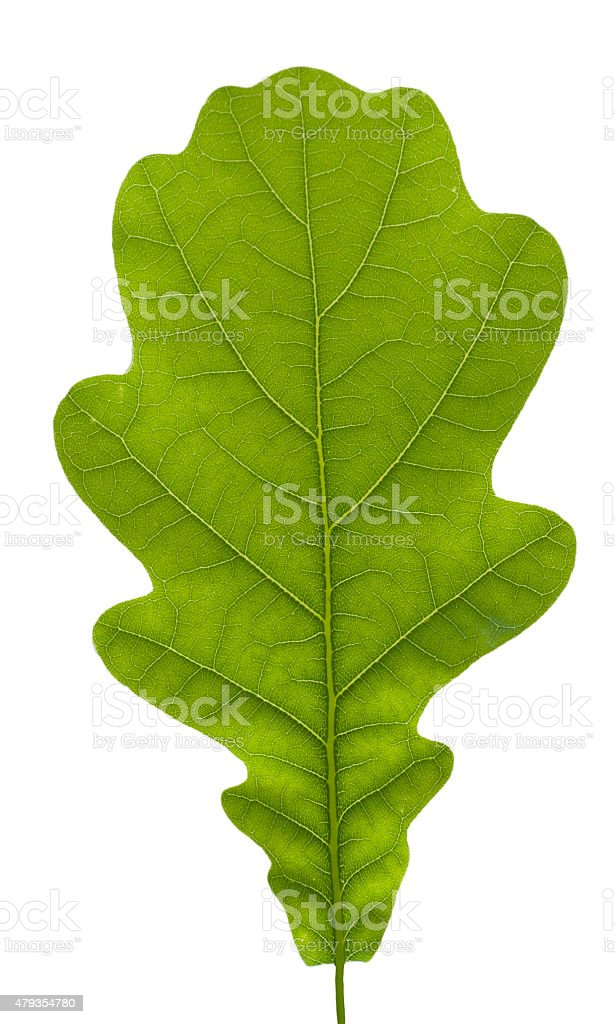 Oak leaves, isolated on white. stock photo