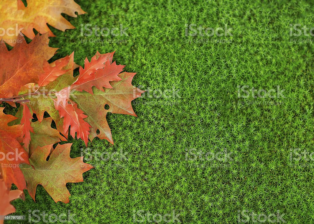 Oak leaves on moss. royalty-free stock photo