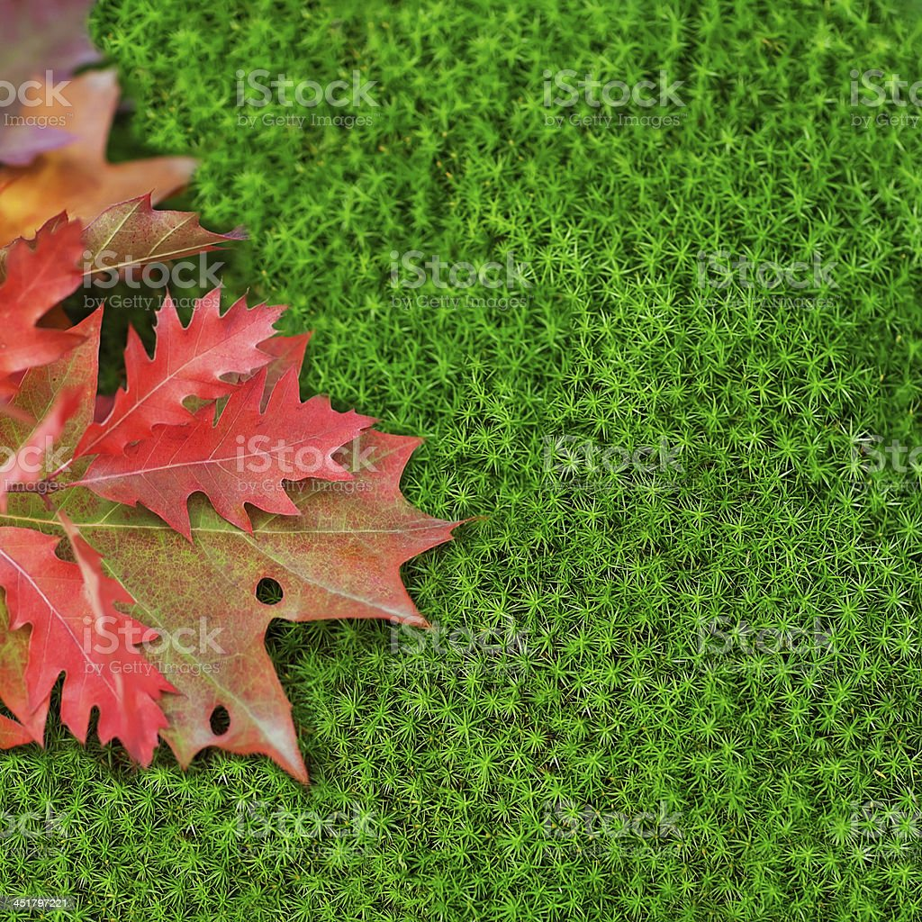 Oak leaves on moss. royalty-free stock photo