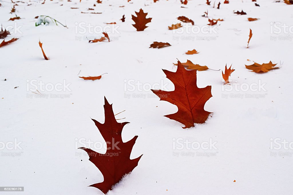 Oak leaves on the snow. stock photo