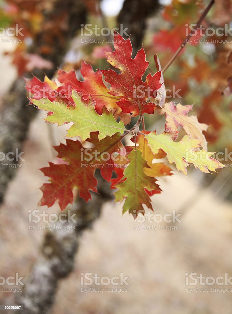 Oak Leaves on Tree in Fall royalty-free stock photo