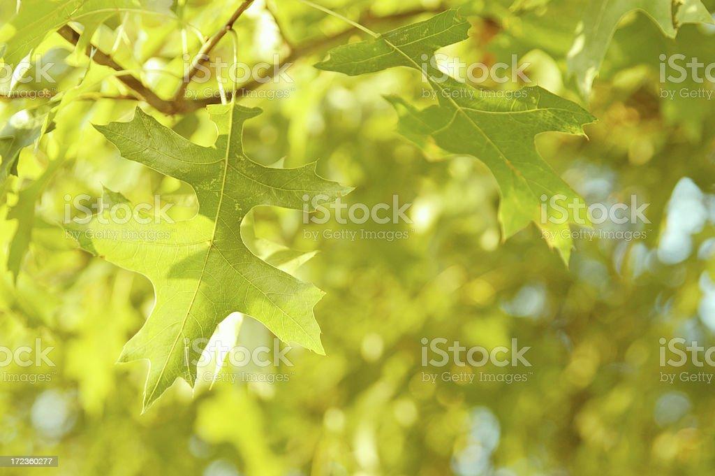 Oak leaves stock photo