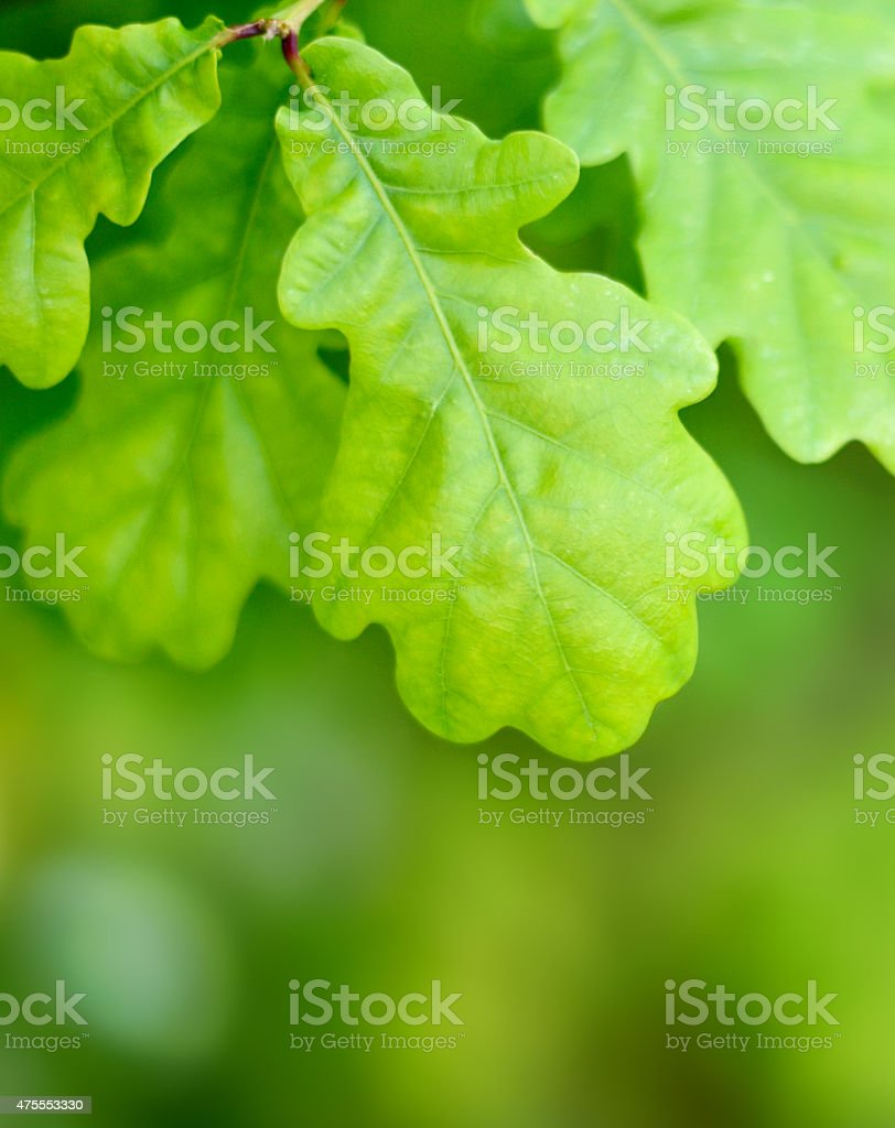 oak leaves with copy space stock photo