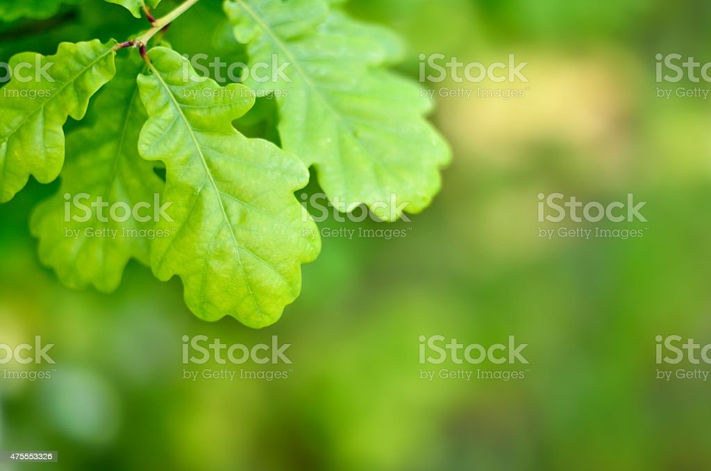 Oak leaves with selective focus and copy space stock photo