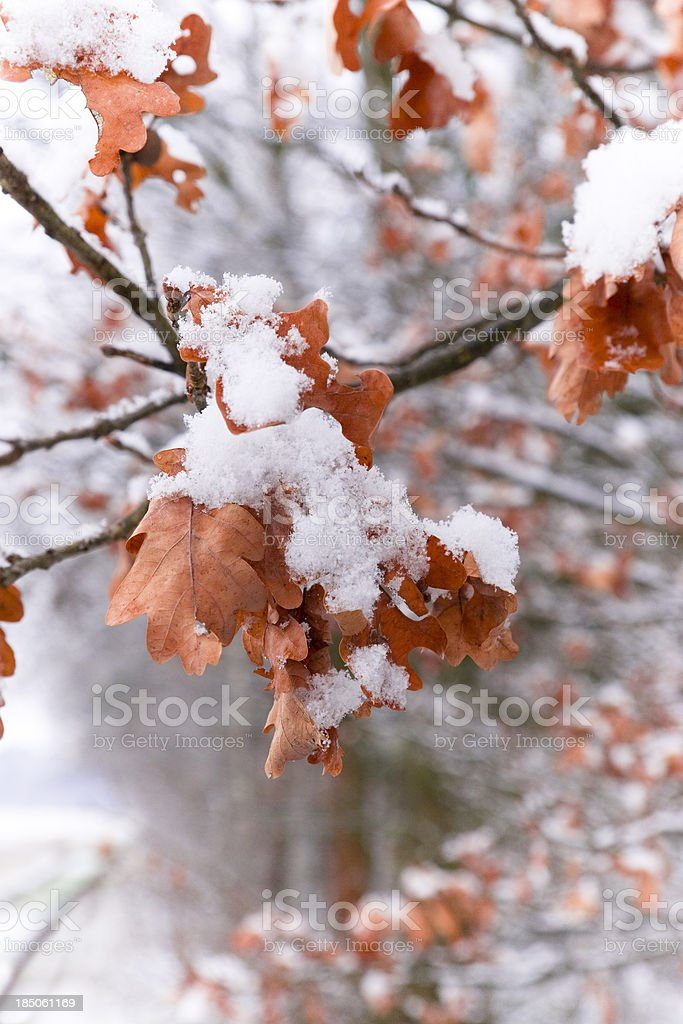 Oak Leaves with Snow Blanket royalty-free stock photo