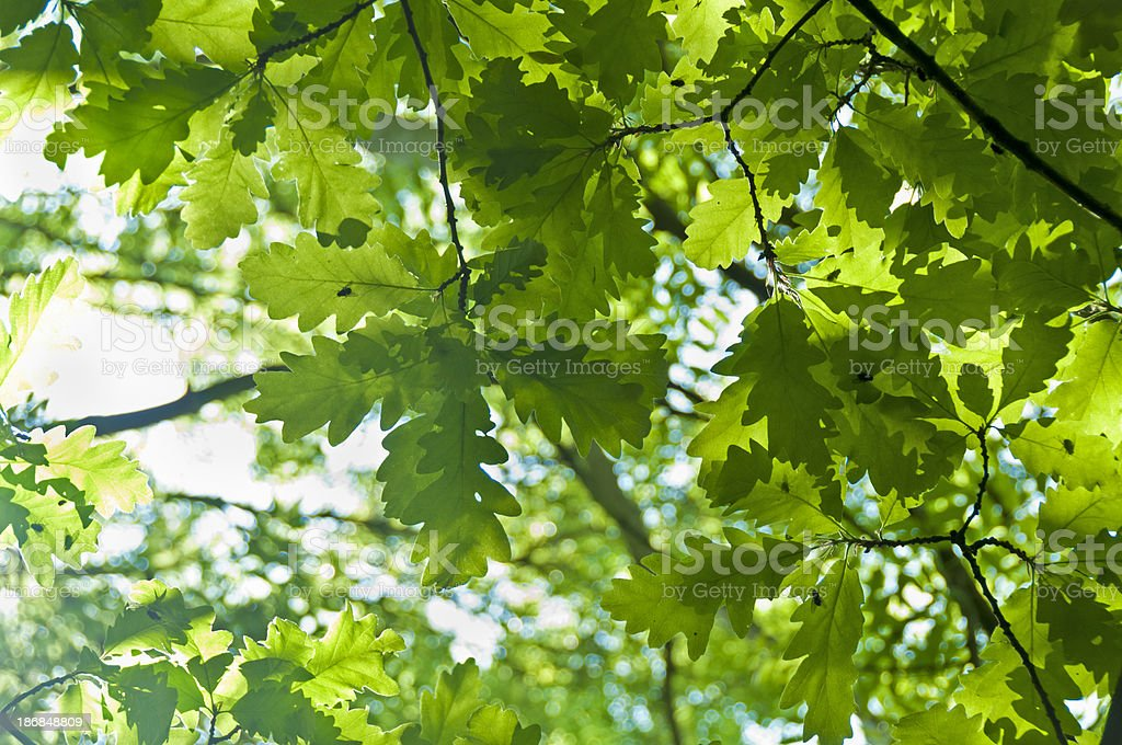 Oak Leaves With Sunlight Shining Behind royalty-free stock photo