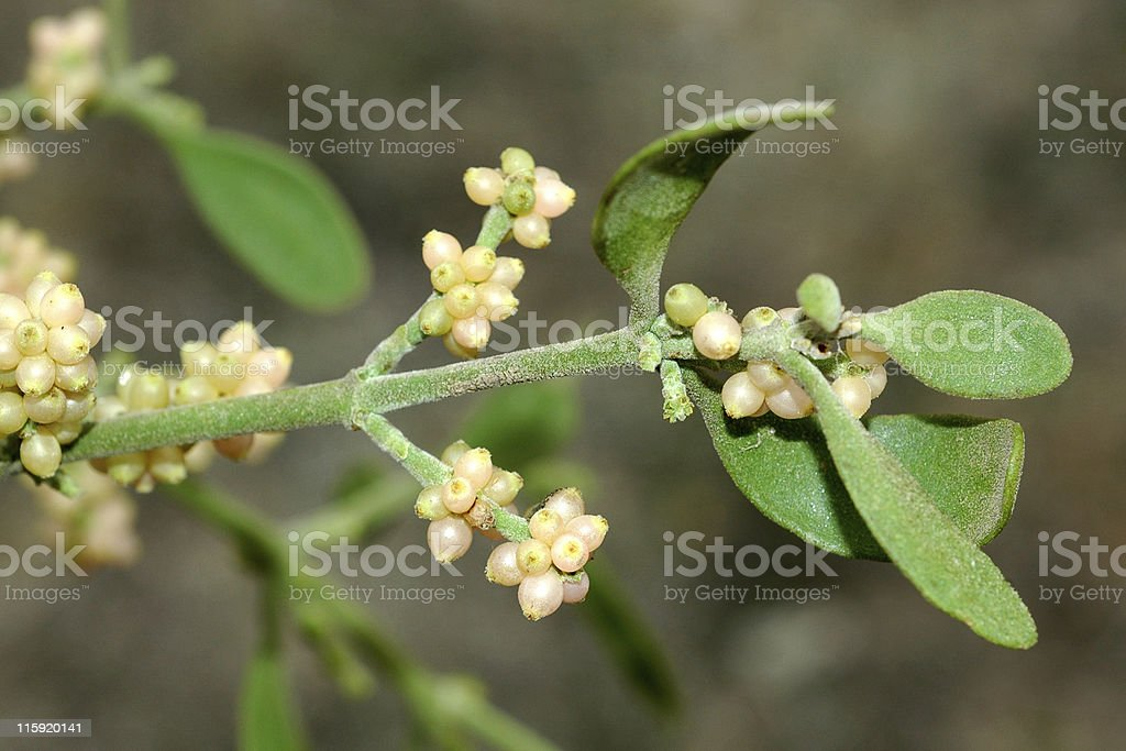 oak mistletoe, Phoradendron villosum royalty-free stock photo
