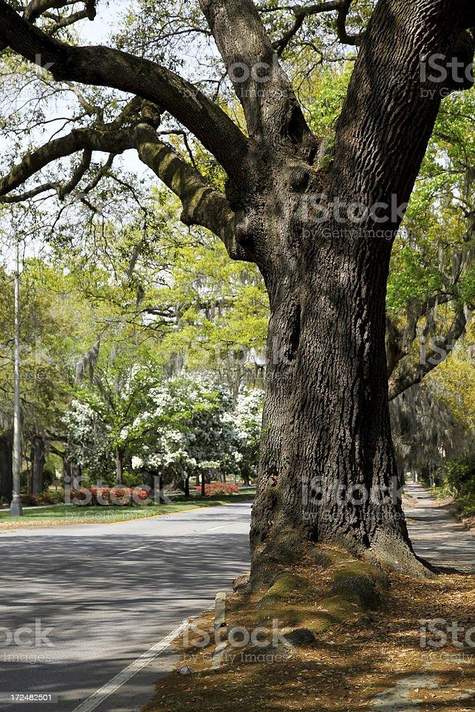 Oak on Abercorn Avenue royalty-free stock photo