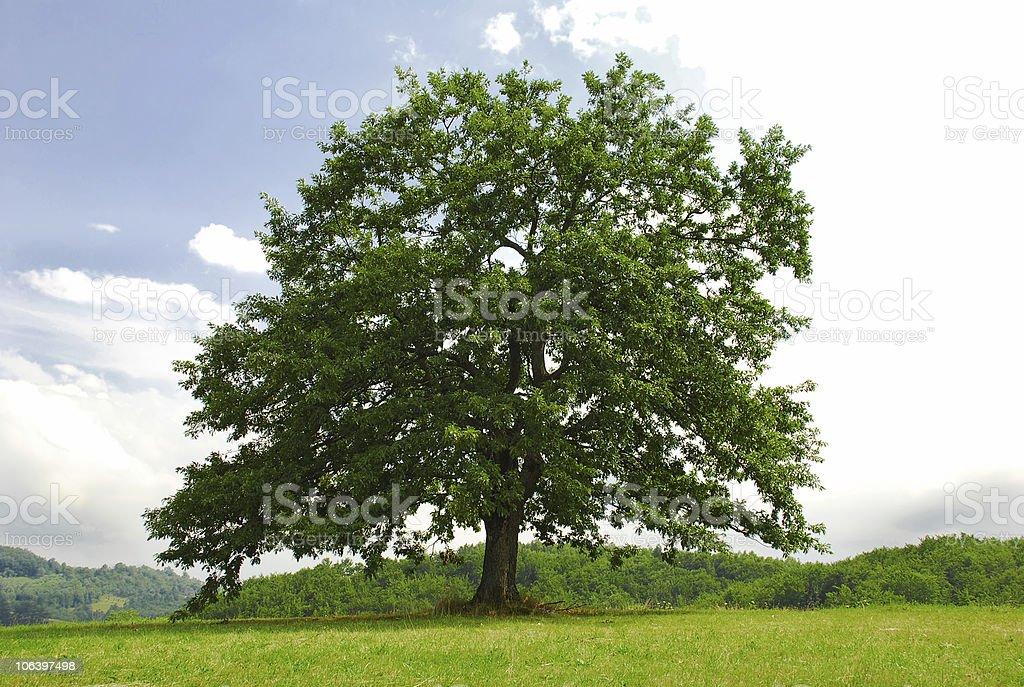 Oak on green hill stock photo