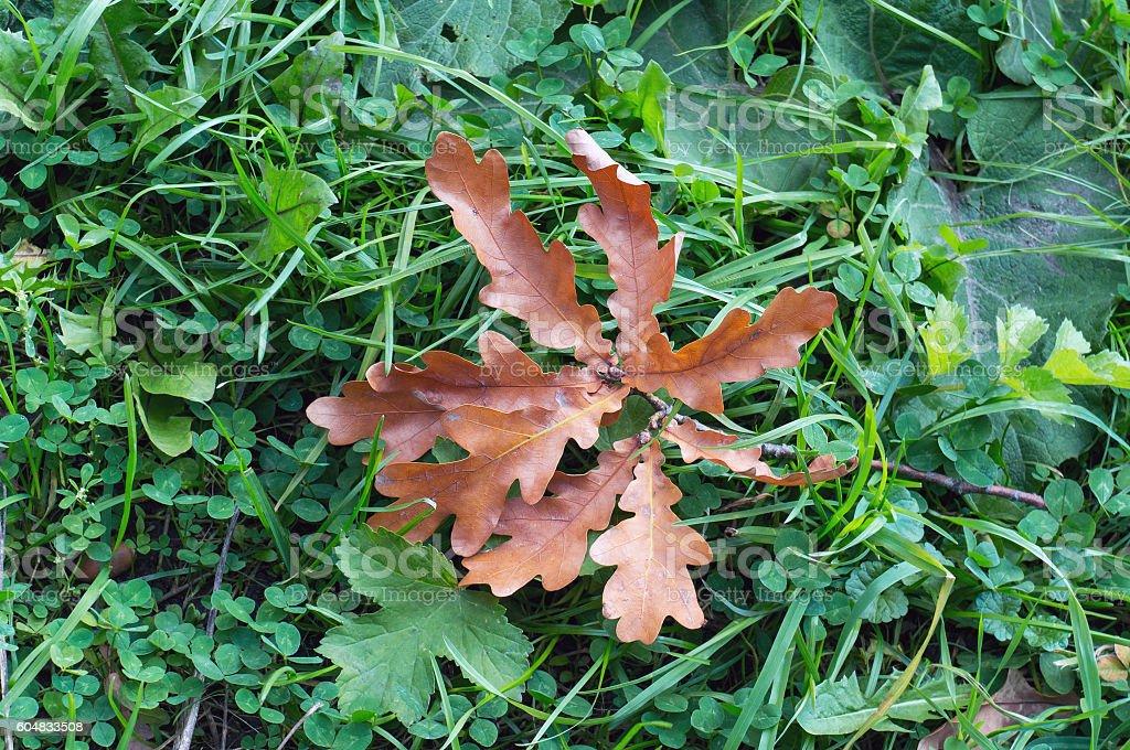 Oak orange leaves foto de stock royalty-free