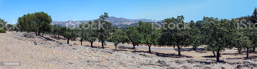 Oak Panorama stock photo