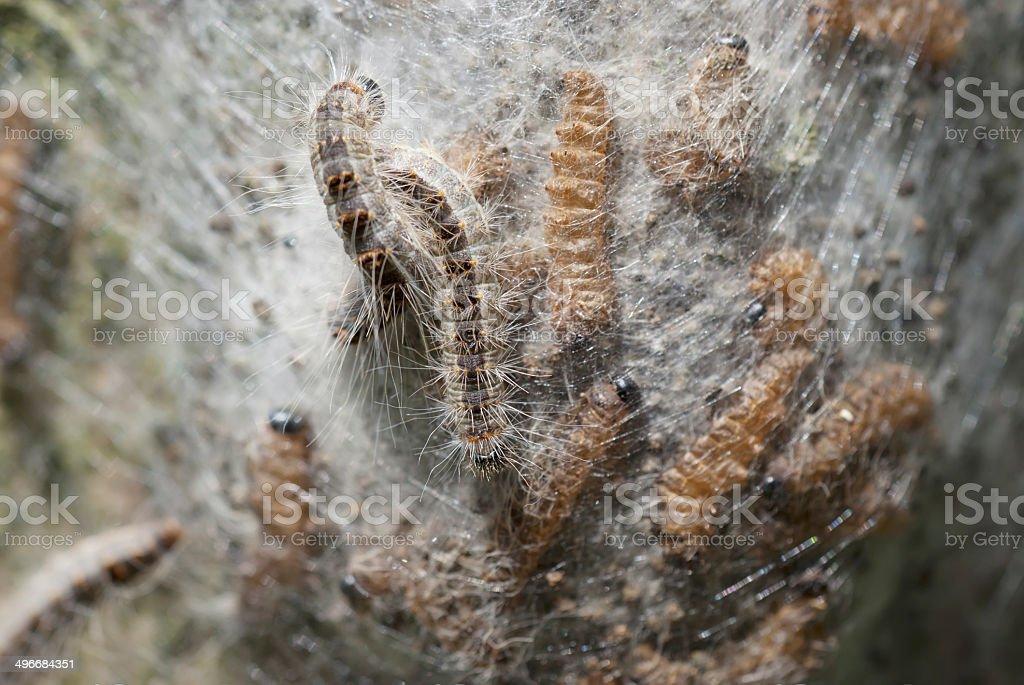 Oak Processionary (Thaumetopoea processionea) caterpillars (nest) stock photo