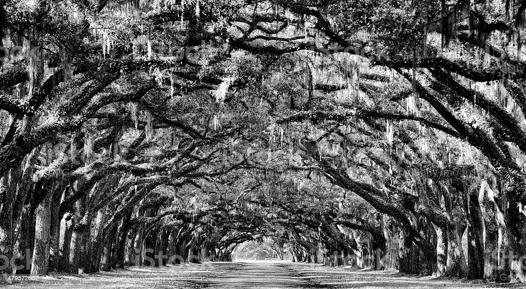Oak road in Savannah stock photo