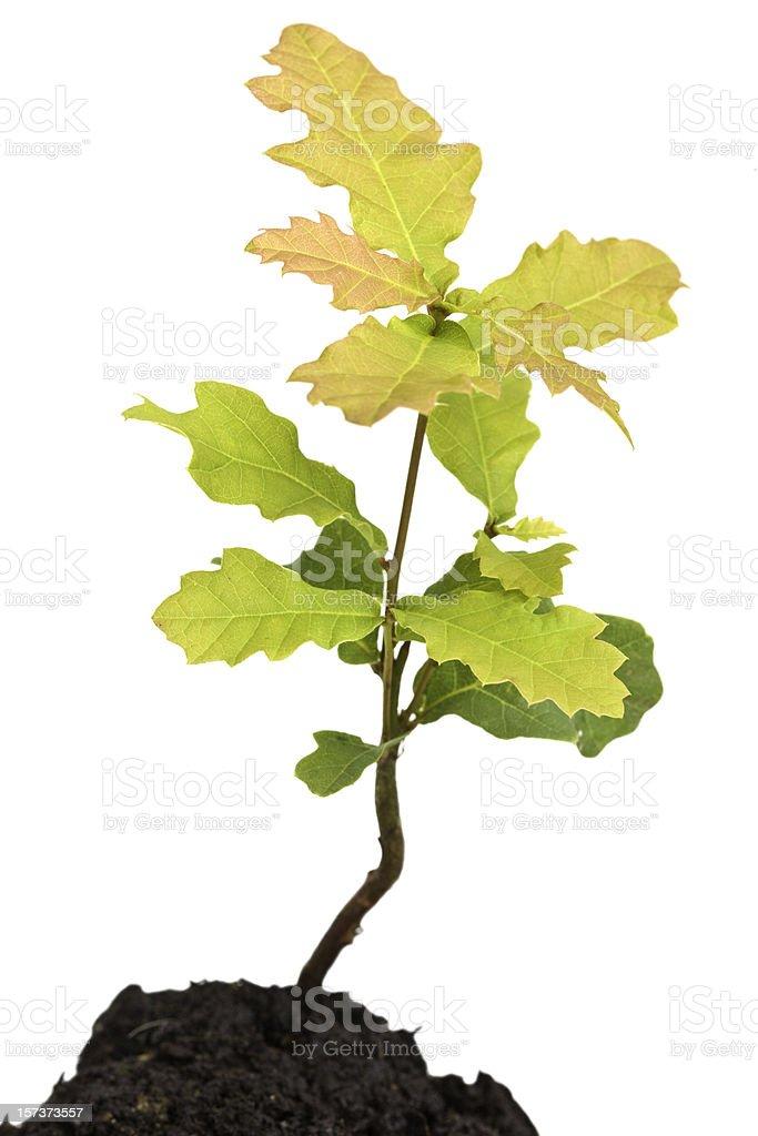 Oak Sapling Isolated On White royalty-free stock photo