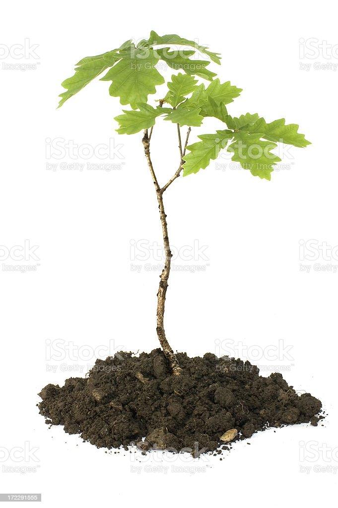 oak sapling royalty-free stock photo
