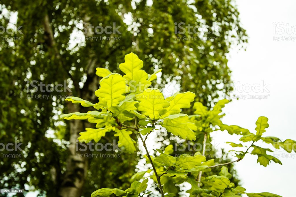 Oak sapling stock photo