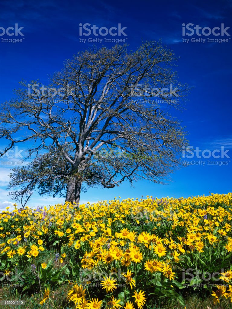 Oak tree and balsam root blooms under blue sky stock photo
