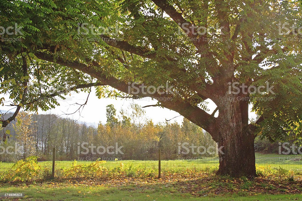 Oak Tree at Start of Autumn in Sunbeams stock photo