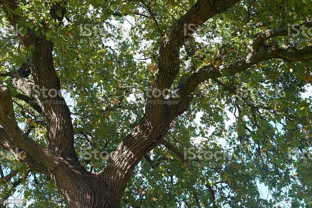 Oak tree background stock photo