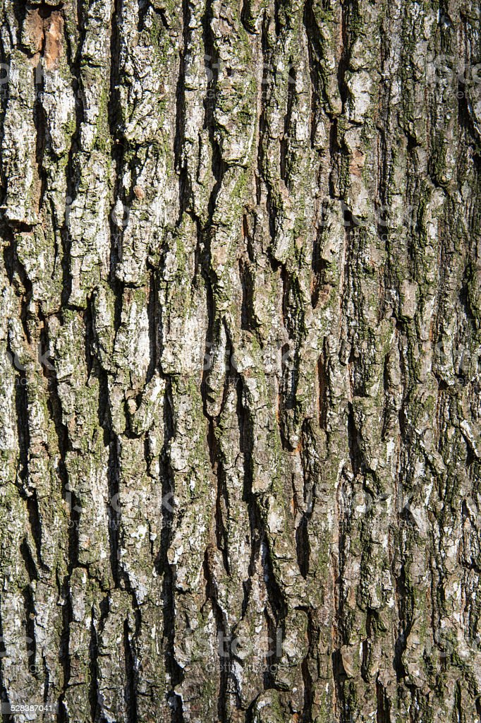 Oak tree bark stock photo