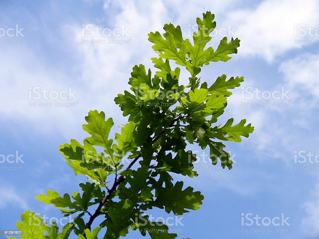 Oak tree branch royalty-free stock photo