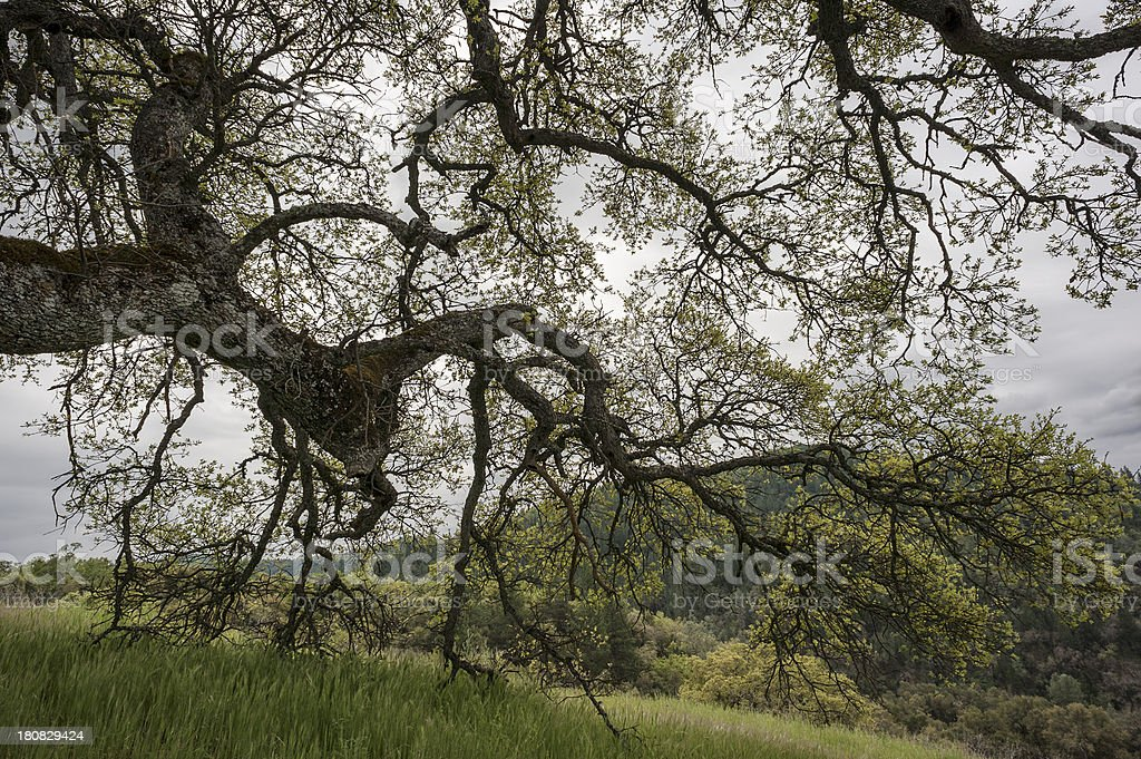 Oak tree branches stock photo