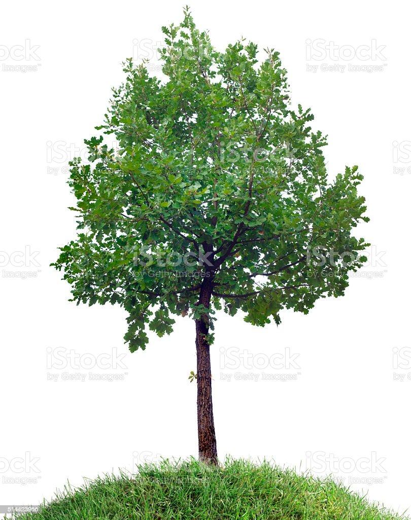 Oak Tree Cutout stock photo