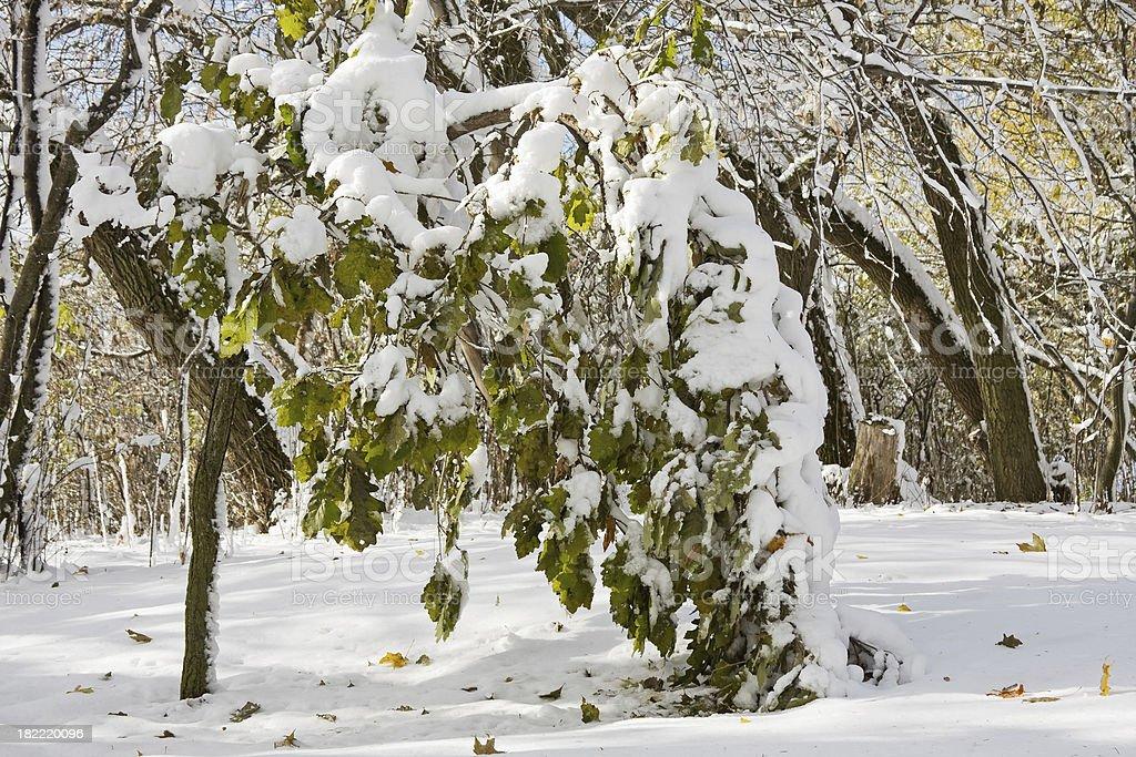 Oak Tree Damaged from Early Wet and Heavy Snowfall royalty-free stock photo