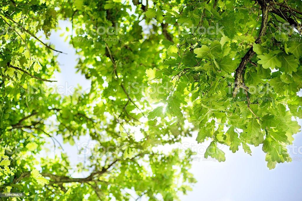 Oak tree foliage and sky royalty-free stock photo