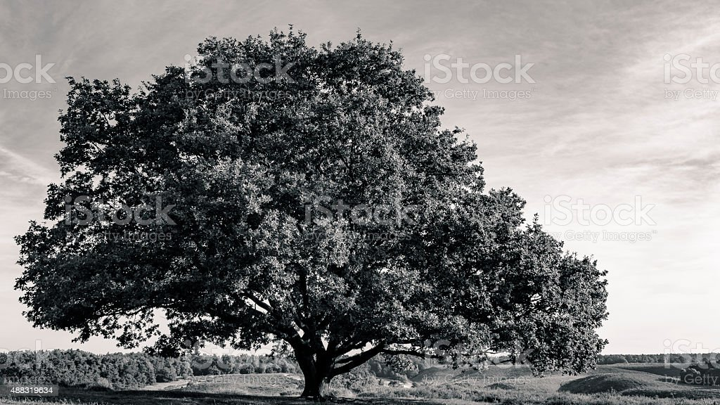 Oak tree in black and white stock photo