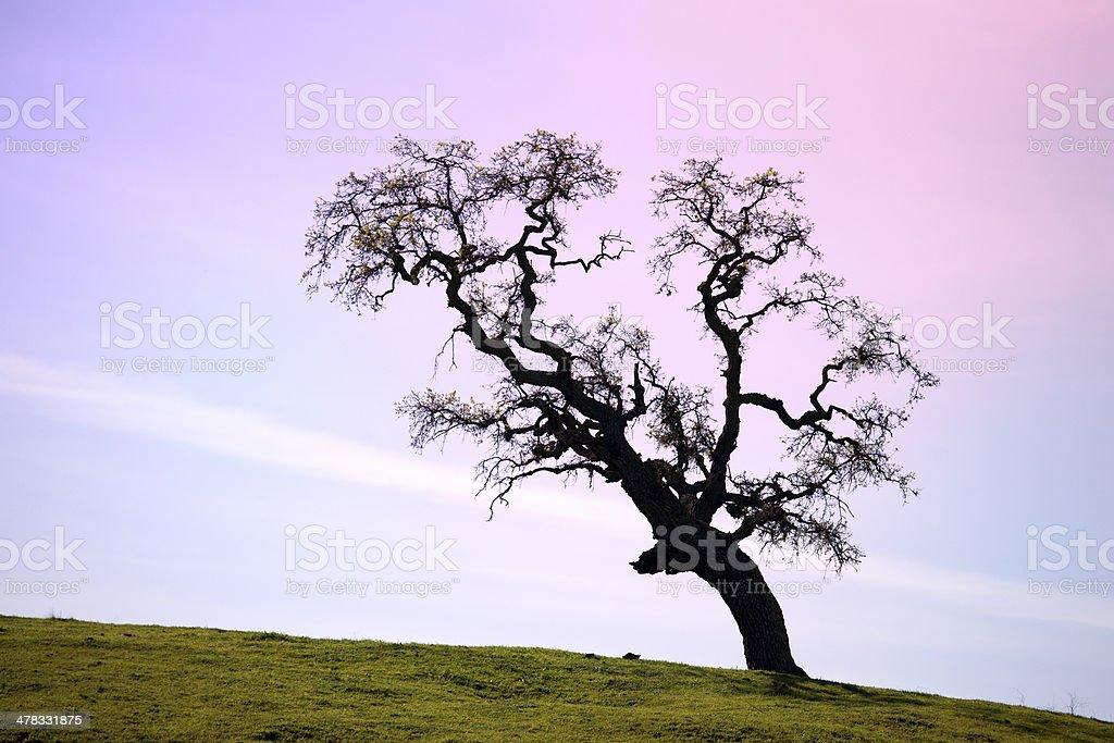 Oak Tree in California stock photo